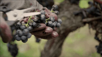 video-prezentacija-vinogradnika-Chateau-Faugeres_13