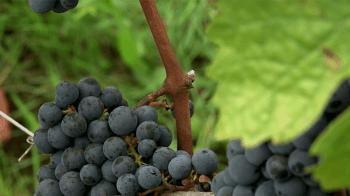 video-prezentacija-vinogradnika-Chateau-Faugeres_14